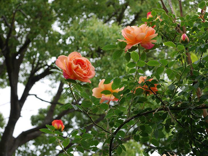 レディ・オブ・シャーロット(ツルバラ)の花が増えて来た。2019年-24.jpg
