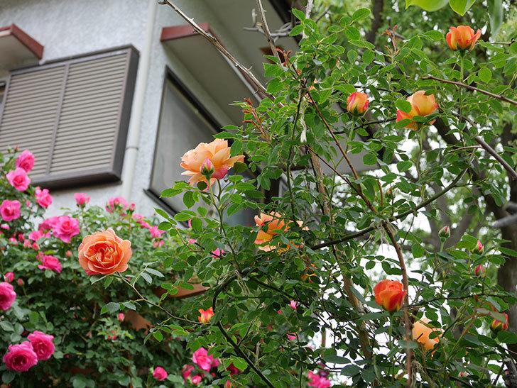 レディ・オブ・シャーロット(ツルバラ)の花が増えて来た。2019年-25.jpg