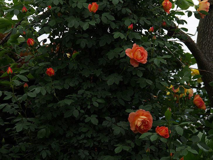 レディ・オブ・シャーロット(ツルバラ)の花が増えて来た。2019年-3.jpg