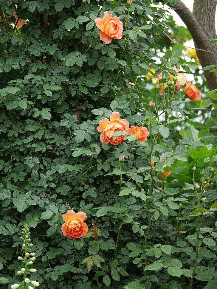レディ・オブ・シャーロット(ツルバラ)の花が増えて来た。2019年-4.jpg