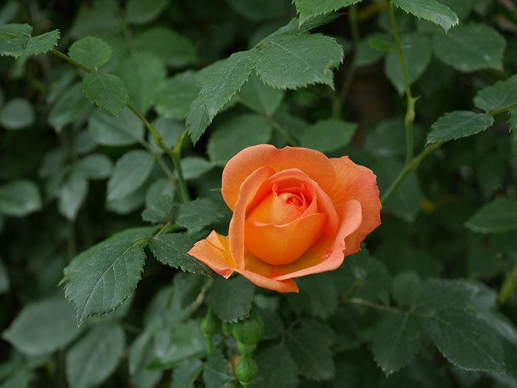 レディ・オブ・シャーロット(ツルバラ)の花が少し咲いた。2019年-3.jpg