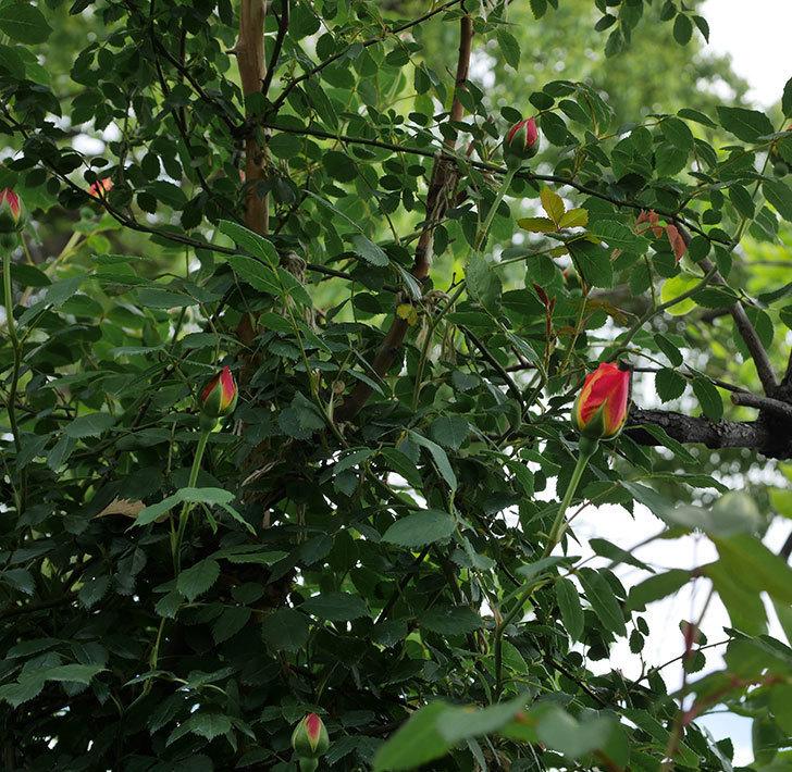 レディ・オブ・シャーロット(ツルバラ)の花が少し咲いた。2019年-4.jpg