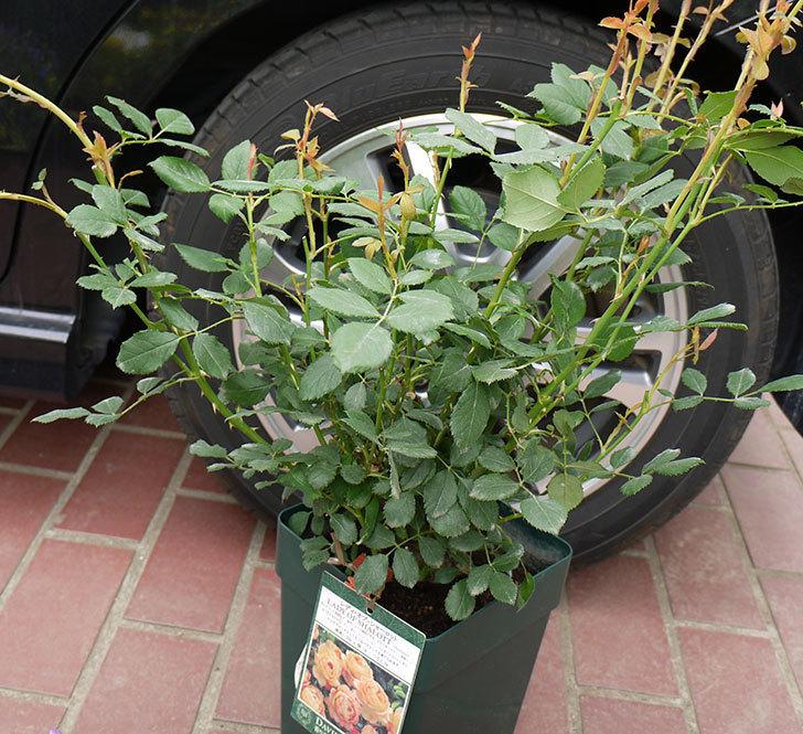 レディ・オブ・シャーロット(ツルバラ)の輸入苗の鉢植え苗を買った。2016年-1.jpg