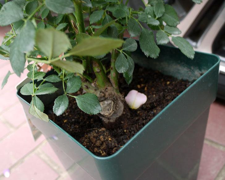 レディ・オブ・シャーロット(ツルバラ)の輸入苗の鉢植え苗を買った。2016年-3.jpg