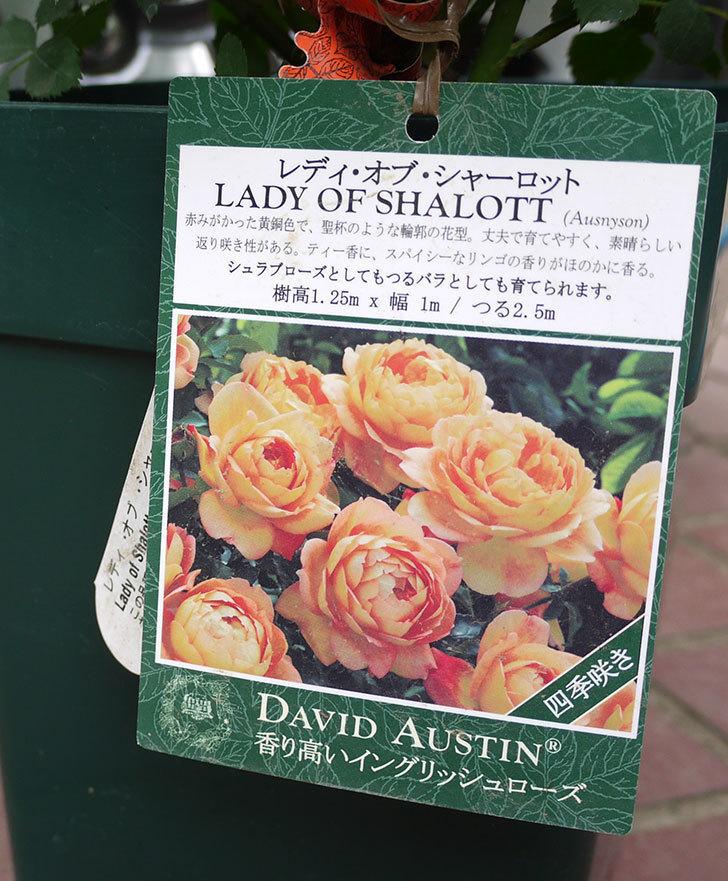 レディ・オブ・シャーロット(ツルバラ)の輸入苗の鉢植え苗を買った。2016年-4.jpg