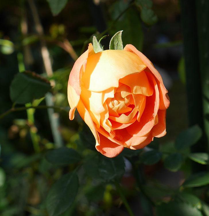 レディ・オブ・シャーロット(ツルバラ)の鉢植えに秋花が咲いた。2017年-1.jpg