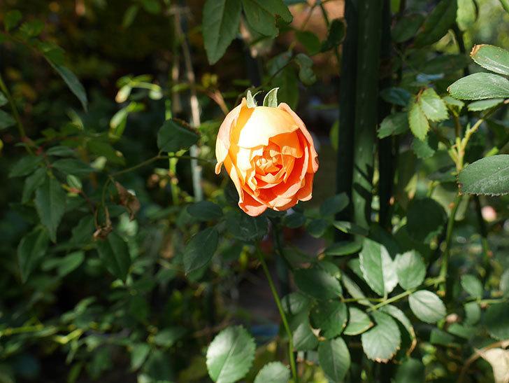 レディ・オブ・シャーロット(ツルバラ)の鉢植えに秋花が咲いた。2017年-3.jpg