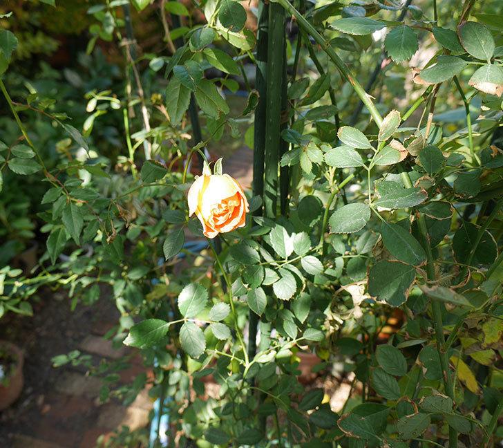 レディ・オブ・シャーロット(ツルバラ)の鉢植えに秋花が咲いた。2017年-4.jpg