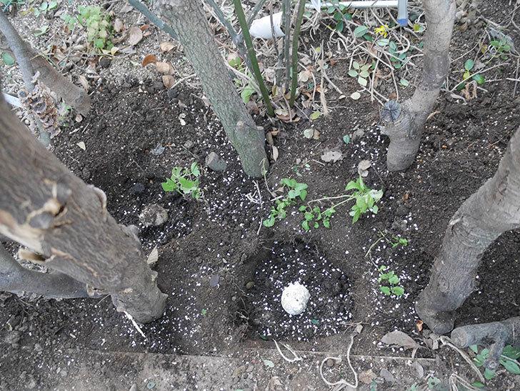 レディ・オブ・シャーロット(半ツルバラ)に寒肥を施した。2020年-7.jpg