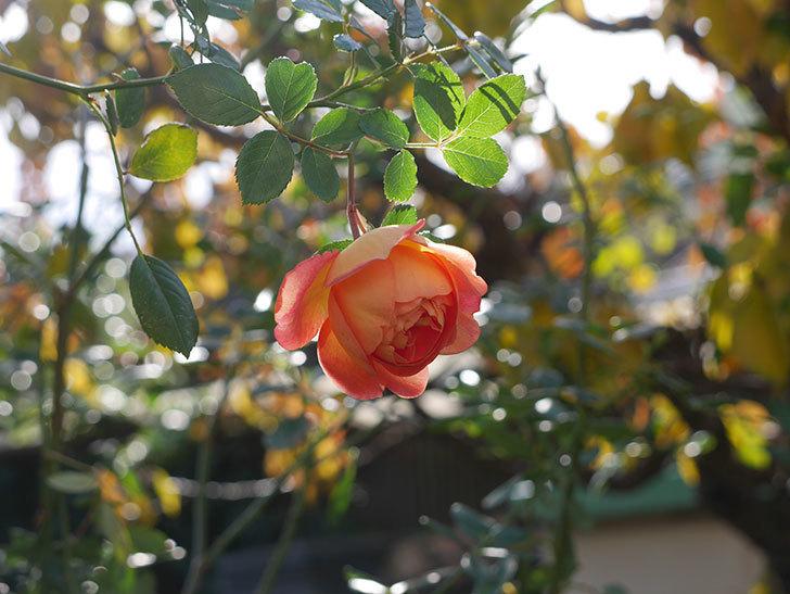 レディ・オブ・シャーロット(半ツルバラ)に濃いオレンジの花が咲いた。2019年-3.jpg