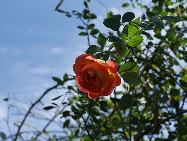 レディ・オブ・シャーロット(半ツルバラ)に濃いオレンジの花が咲いた。2019年-4.jpg