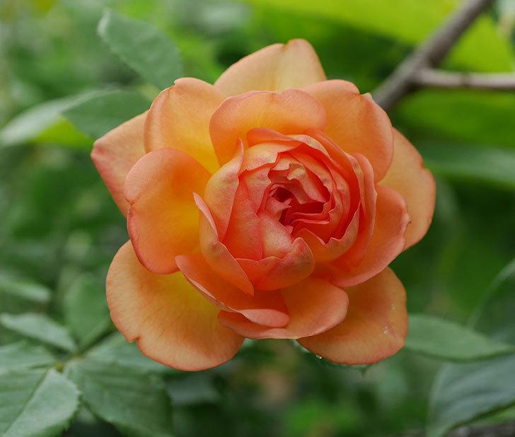 レディ・オブ・シャーロット(半ツルバラ)の2番花が咲いた。2019年-1.jpg