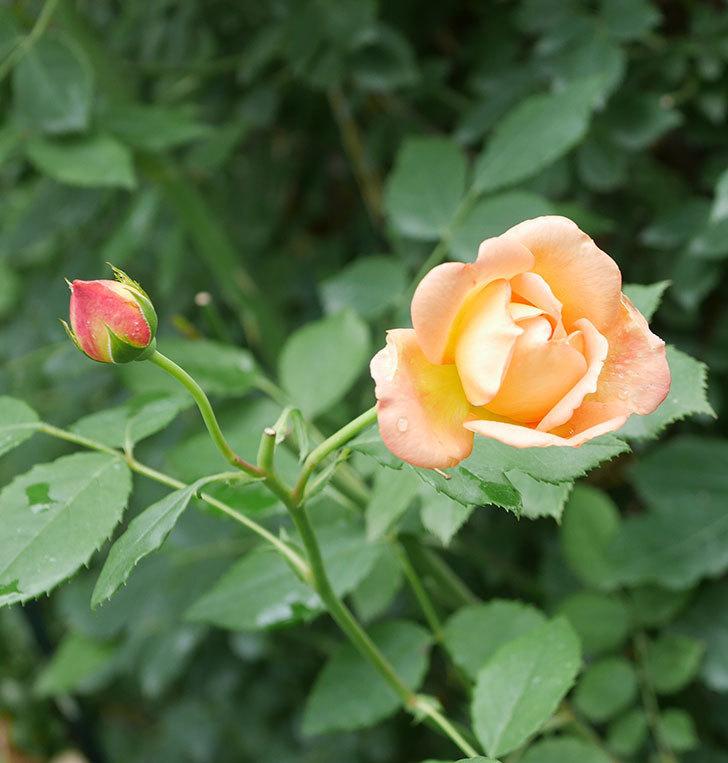 レディ・オブ・シャーロット(半ツルバラ)の2番花が咲いた。2019年-2.jpg