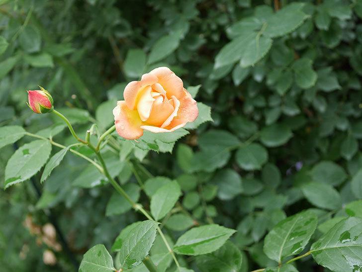 レディ・オブ・シャーロット(半ツルバラ)の2番花が咲いた。2019年-3.jpg