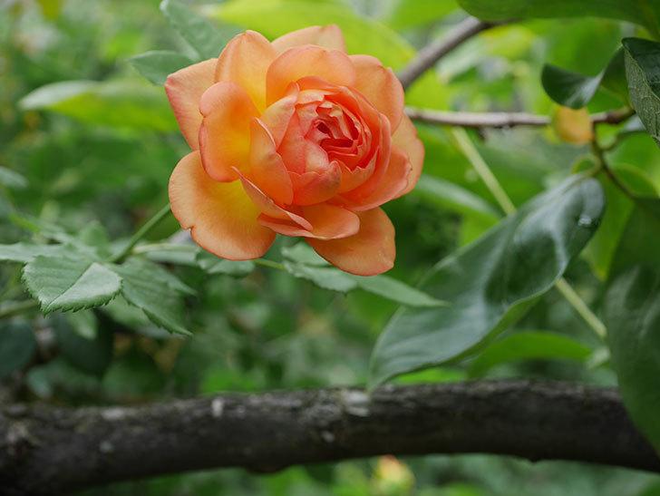 レディ・オブ・シャーロット(半ツルバラ)の2番花が咲いた。2019年-4.jpg