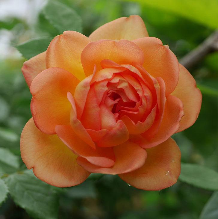レディ・オブ・シャーロット(半ツルバラ)の2番花が咲いた。2019年-5.jpg