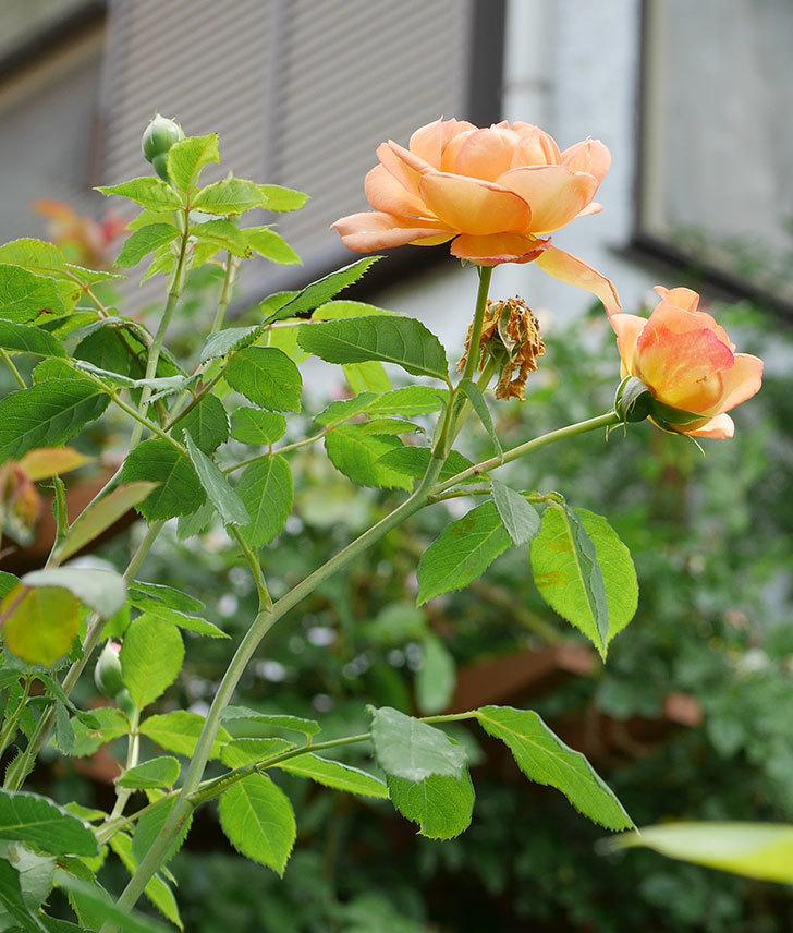 レディ・オブ・シャーロット(半ツルバラ)の2番花が咲いた。2019年-6.jpg