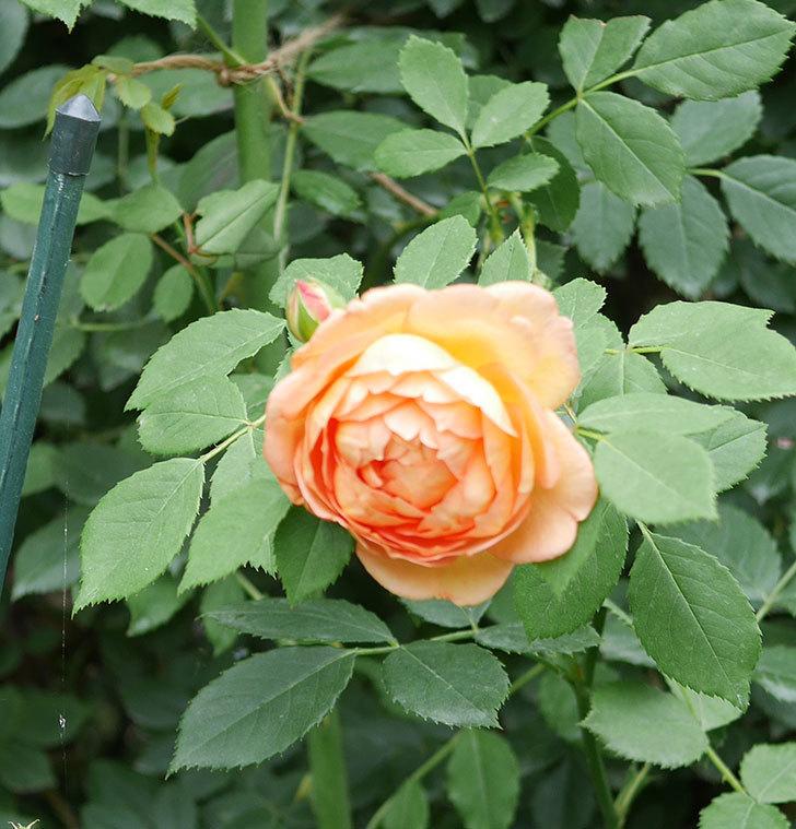 レディ・オブ・シャーロット(半ツルバラ)の2番花が増えて来た。2019年-2.jpg