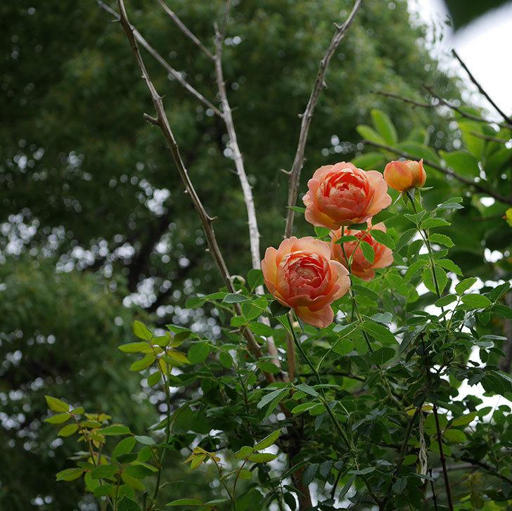 レディ・オブ・シャーロット(半ツルバラ)の2番花が増えて来た。2019年-3.jpg
