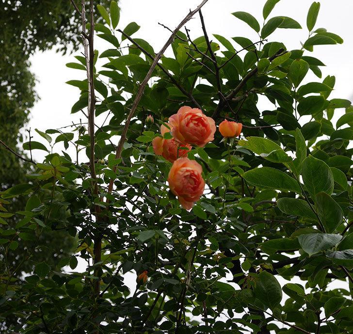 レディ・オブ・シャーロット(半ツルバラ)の2番花が増えて来た。2019年-5.jpg