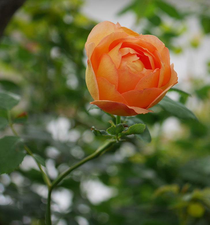 レディ・オブ・シャーロット(半ツルバラ)の2番花が増えて来た。2019年-6.jpg