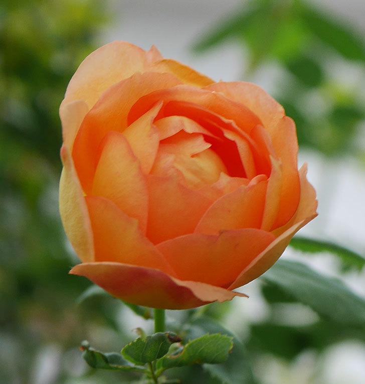 レディ・オブ・シャーロット(半ツルバラ)の2番花が増えて来た。2019年-7.jpg
