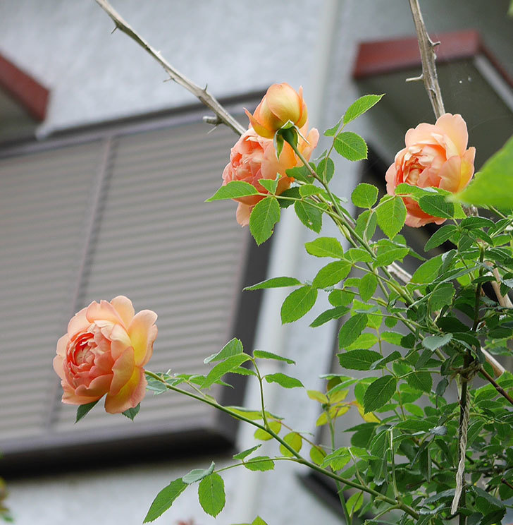 レディ・オブ・シャーロット(半ツルバラ)の2番花が増えて来た。2019年-8.jpg