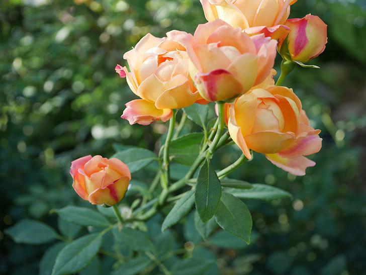 レディ・オブ・シャーロット(半ツルバラ)の2番花が房で咲いた。2019年-10.jpg