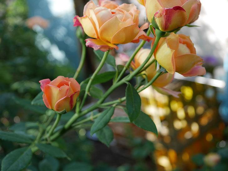 レディ・オブ・シャーロット(半ツルバラ)の2番花が房で咲いた。2019年-11.jpg