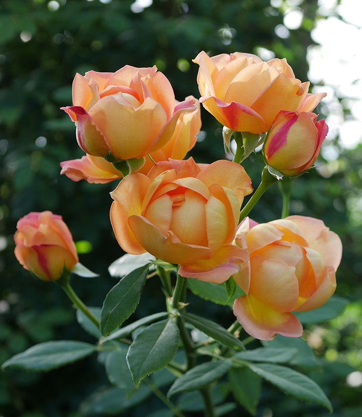 レディ・オブ・シャーロット(半ツルバラ)の2番花が房で咲いた。2019年-4.jpg