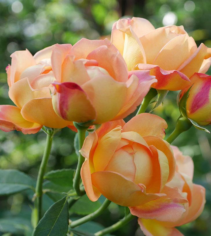 レディ・オブ・シャーロット(半ツルバラ)の2番花が房で咲いた。2019年-6.jpg