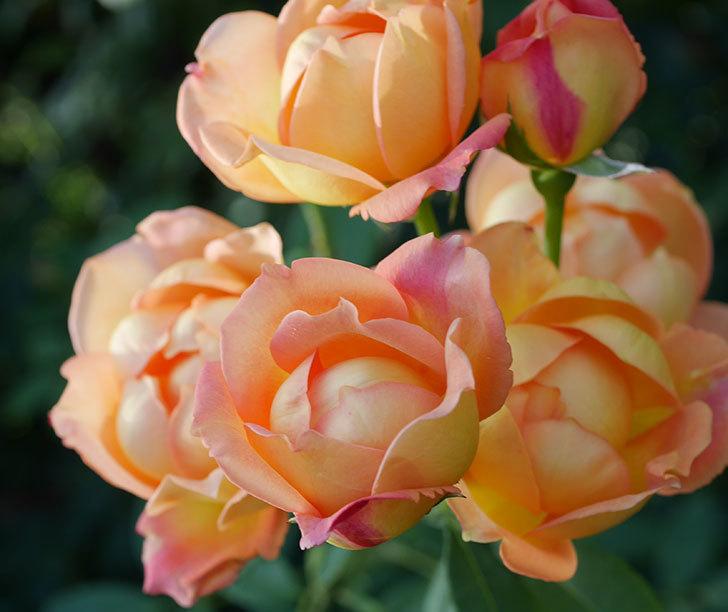 レディ・オブ・シャーロット(半ツルバラ)の2番花が房で咲いた。2019年-7.jpg