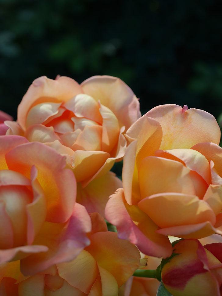 レディ・オブ・シャーロット(半ツルバラ)の2番花が房で咲いた。2019年-8.jpg