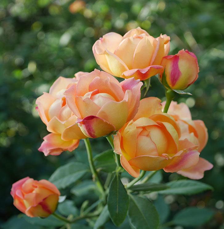 レディ・オブ・シャーロット(半ツルバラ)の2番花が房で咲いた。2019年-9.jpg