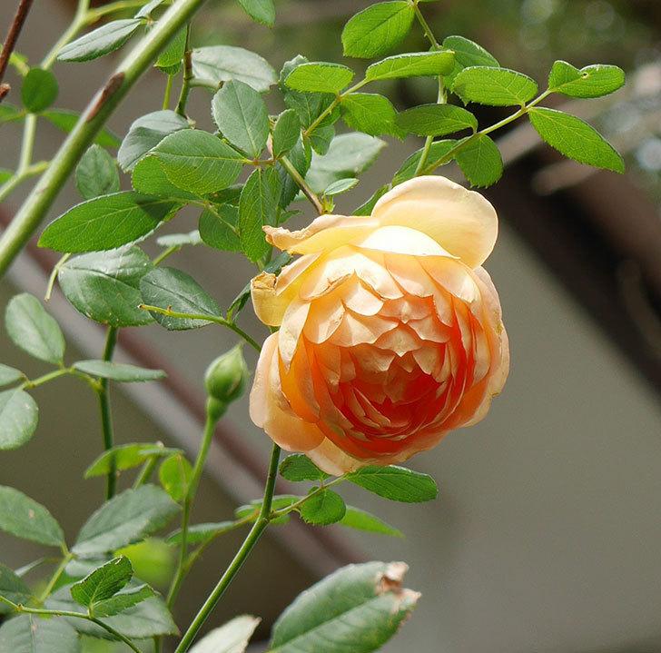 レディ・オブ・シャーロット(半ツルバラ)の秋花が咲いた。2019年-1.jpg