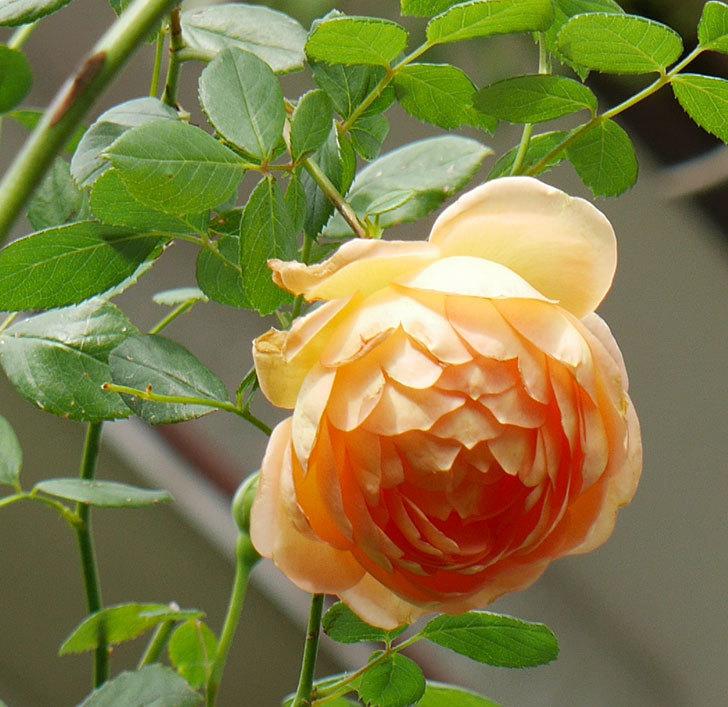 レディ・オブ・シャーロット(半ツルバラ)の秋花が咲いた。2019年-2.jpg