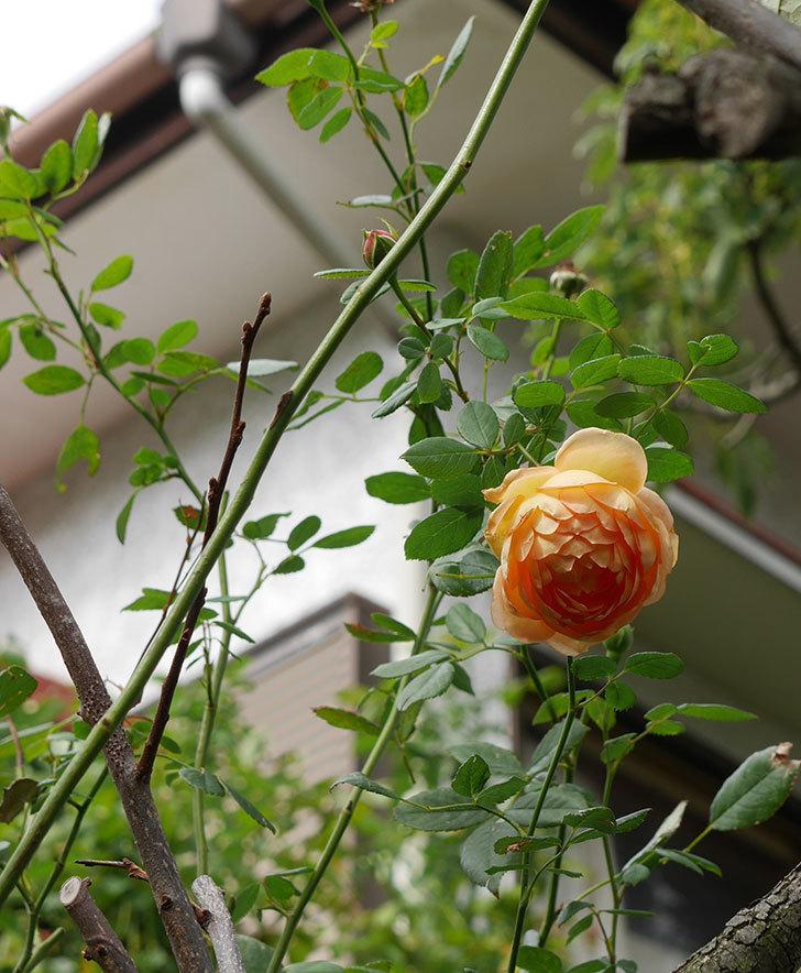レディ・オブ・シャーロット(半ツルバラ)の秋花が咲いた。2019年-3.jpg