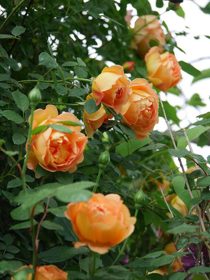 レディ・オブ・シャーロット(半ツルバラ)の花がたくさん咲いた。2020年-1.jpg