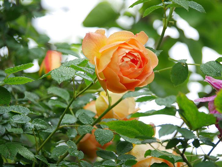 レディ・オブ・シャーロット(半ツルバラ)の花がたくさん咲いた。2020年-10.jpg
