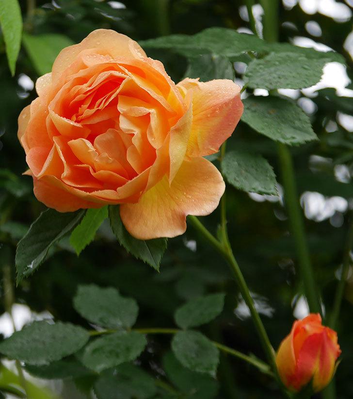レディ・オブ・シャーロット(半ツルバラ)の花がたくさん咲いた。2020年-11.jpg