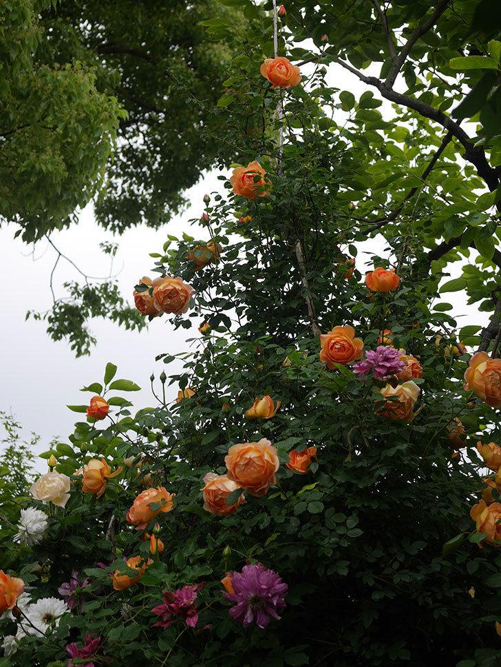 レディ・オブ・シャーロット(半ツルバラ)の花がたくさん咲いた。2020年-12.jpg