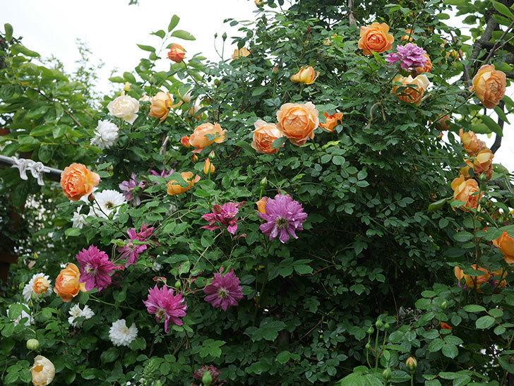 レディ・オブ・シャーロット(半ツルバラ)の花がたくさん咲いた。2020年-13.jpg