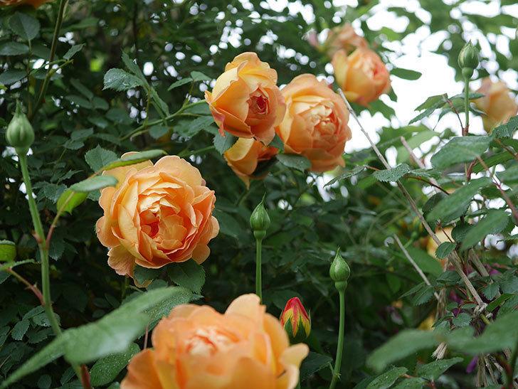レディ・オブ・シャーロット(半ツルバラ)の花がたくさん咲いた。2020年-14.jpg