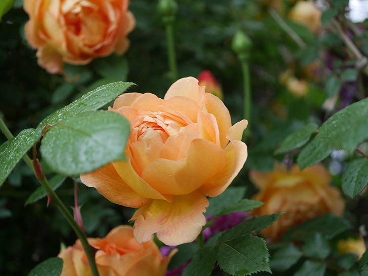 レディ・オブ・シャーロット(半ツルバラ)の花がたくさん咲いた。2020年-15.jpg