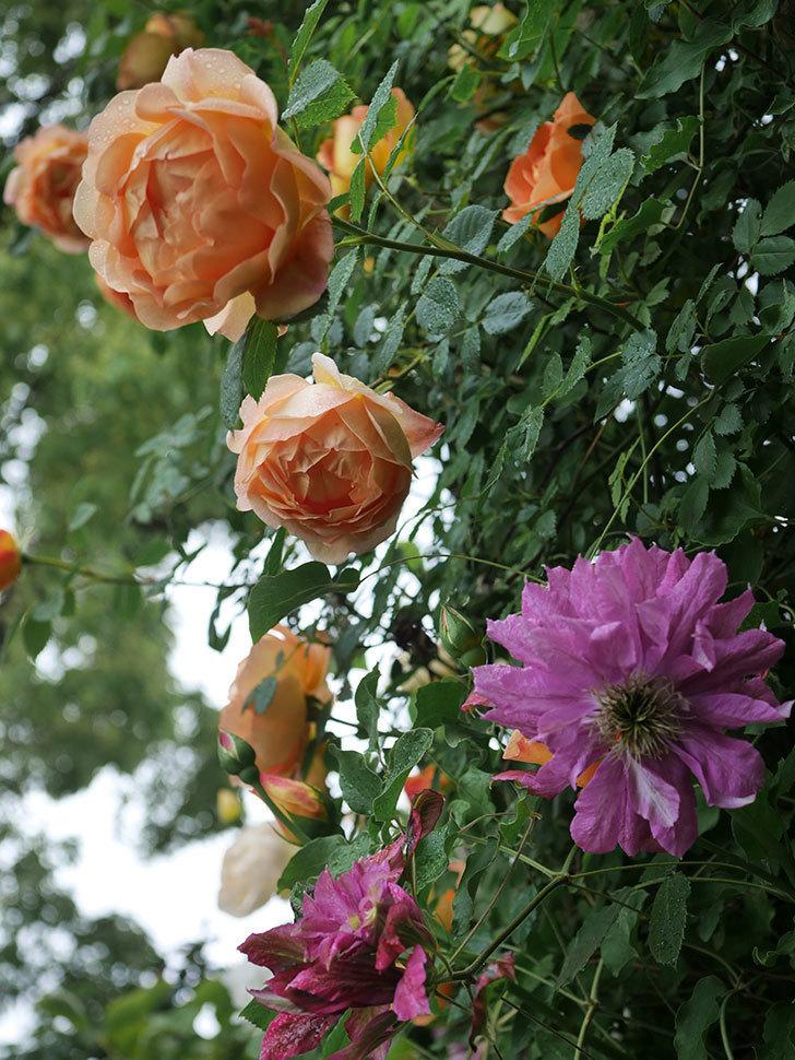 レディ・オブ・シャーロット(半ツルバラ)の花がたくさん咲いた。2020年-16.jpg
