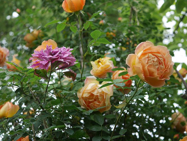 レディ・オブ・シャーロット(半ツルバラ)の花がたくさん咲いた。2020年-17.jpg