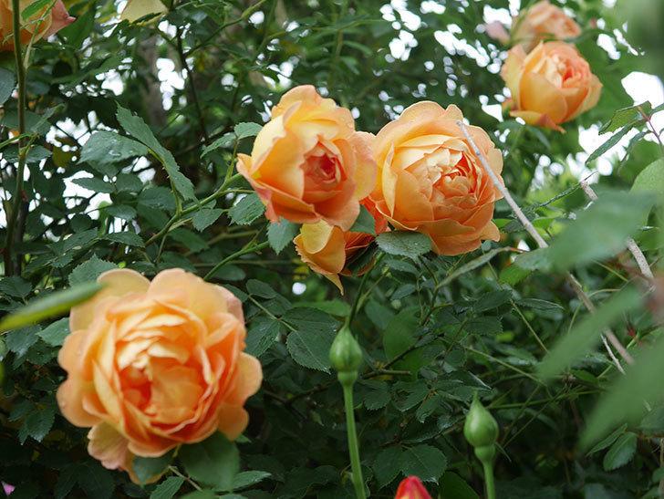 レディ・オブ・シャーロット(半ツルバラ)の花がたくさん咲いた。2020年-18.jpg