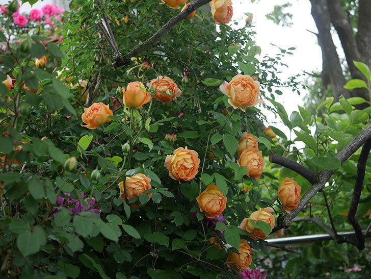 レディ・オブ・シャーロット(半ツルバラ)の花がたくさん咲いた。2020年-19.jpg