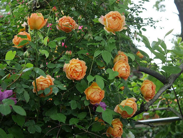 レディ・オブ・シャーロット(半ツルバラ)の花がたくさん咲いた。2020年-20.jpg