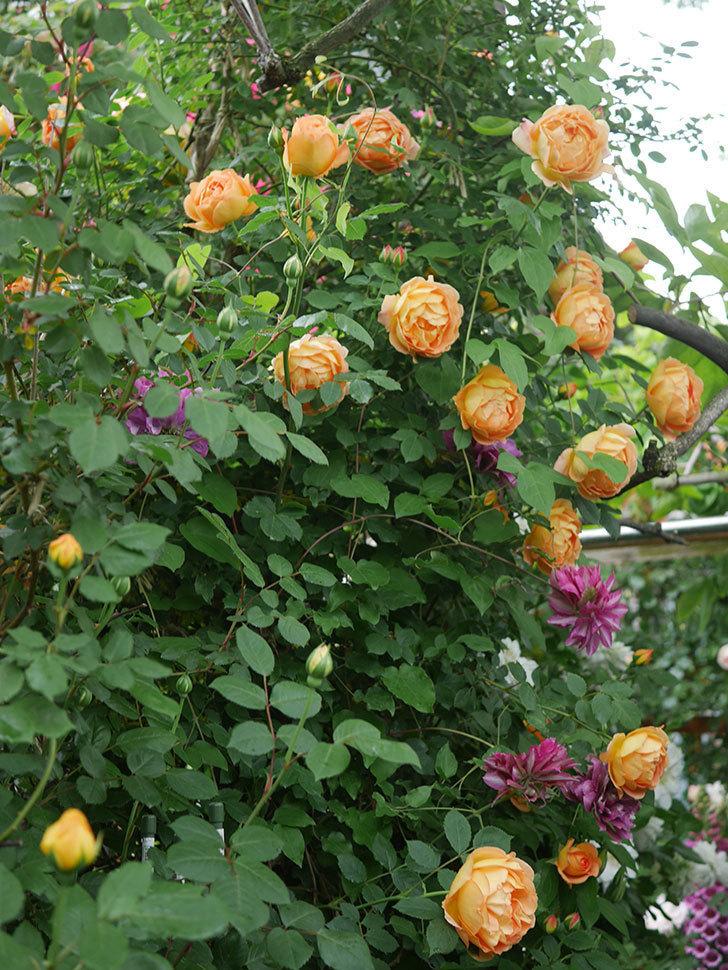 レディ・オブ・シャーロット(半ツルバラ)の花がたくさん咲いた。2020年-21.jpg